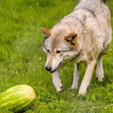 This Wolf Likes Watermelons